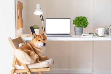 Workplace with cute Shiba Inu dog. Blank white screen laptop. Home office concept