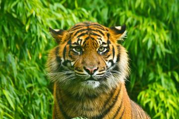 Fotorolgordijn Tijger wild tiger against green background