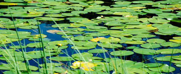 Poster Waterlelies Lake covered with green water lilies leaves background banner