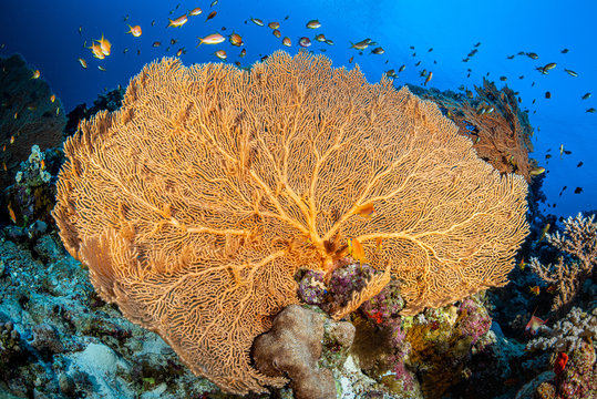 Gorgonie im Roten Meer bei Marsa Alam