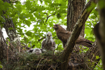 Family of common buzzard, buteo buteo, with adult and little chicks sitting on nest in treetop. Bird of prey together in spring forest. Wild animal baby with mother in nature. Wall mural