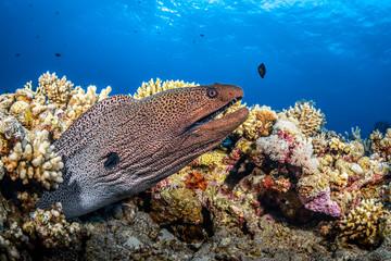 Muräne an einem Korallenriff im Roten Meer in Ägypten
