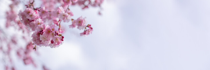 Spoed Fotobehang Kersenbloesem A branch of Cherry Blossom flowers against blurry puffy clouds in a blue sky