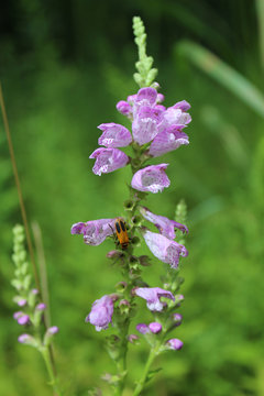 Obedient plant at Miami Woods in Morton Grove, Illinois with a goldenrod soldier beetle