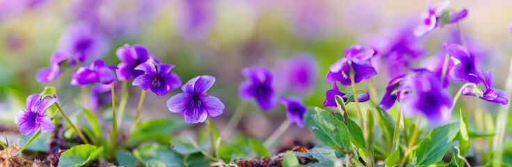 panoramic view of a Manchurian Violet in the early spring.. field of wild flowers Fotomurales