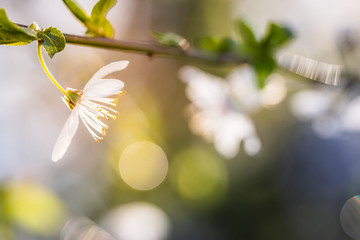 Apple bud blooming and sun light illuminating the blossom in spring. Fotobehang
