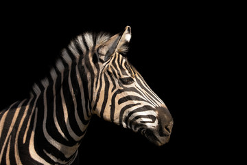 Detail colour portrait zebra on the black background