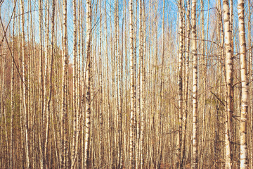 Papiers peints Bosquet de bouleaux Yellow spring evening colors yellow brown blue birch tree forest grove in sunny sunset park background wallpaper. Photo in retro vintage hipster style of processing