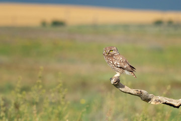 Fototapete - The Little Owl Athene noctua. Adult owl sits on a in the stick beautiful evening light