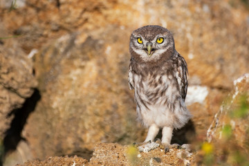 Fototapete - The Little Owl Athene noctua, stands on a rock. Portrait