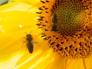 piękny słonecznik pszczoła