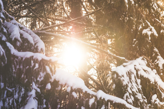 Spruce tree branches with white snow on top with the evening sun shining through