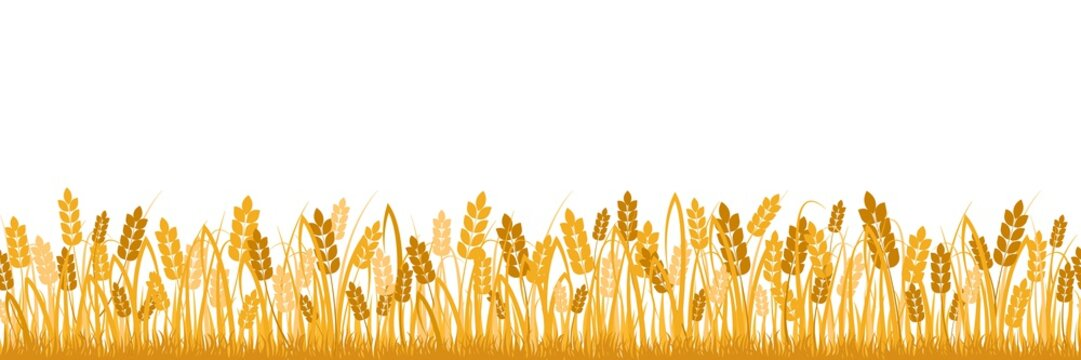 Cartoon yellow wheat field background isolated on white. Golden autumn harvest oat grain natural rural meadow farm agriculture landscape backdrop vector flat illustration