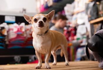 Chihuahua dog sitting in petshop