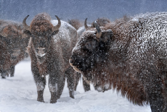 Warlike Free Grazing European Wood Bison Close Up.Adult Aurochs ( Wisent ), Covered With Snow Crust And Muzzle In Snow. Huge Wild Bull - Bison Bonasus,Endangered Artiodactyl Animal In Nature Habitat.
