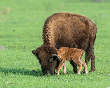 Bison calf with mother
