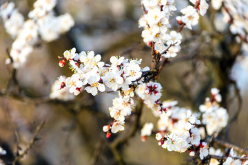 Sticker - flowering apricot tree at spring