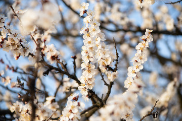 Canvas Print - flowering apricot tree at spring