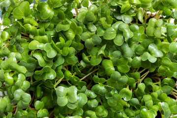 Sprouted radish seeds microgreens. View from above. Concept healthy eating. Growing sprouts. Spring background.