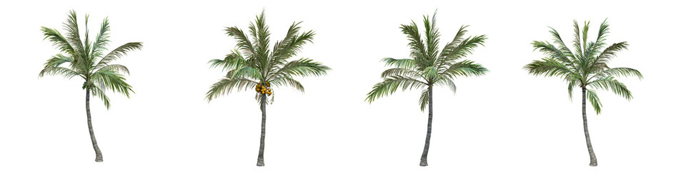 Coconut palm middle-size real trees isolated on alpha channel with clipping path. Cocos nucifera in all seasons.3d rendering for digital composition.