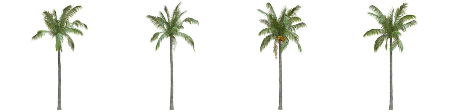 Coconut palm full-size real trees isolated on alpha channel with clipping path. Cocos nucifera in all seasons.3d rendering for digital composition.