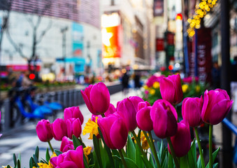 Tulips on the street of New York, selective focus. Fotomurales
