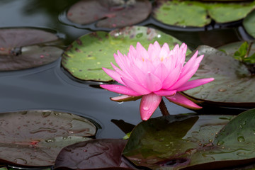 Stores photo Nénuphars Beautiful lotus flower or Water lily on the water in a park close-up.