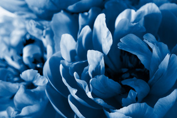 Wall Mural - trend color of the year 2020 classic blue. peony flower petals macro background
