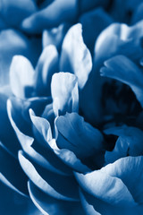 Fototapete - trend color of the year 2020 classic blue. peony flower petals macro background