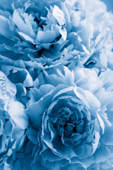 Fototapete - trend color of the year 2020 classic blue. beautiful peony flower background