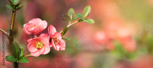 Mothers day or easter card idea, pink japonica, japanese quince flower. Web banner with copy space.