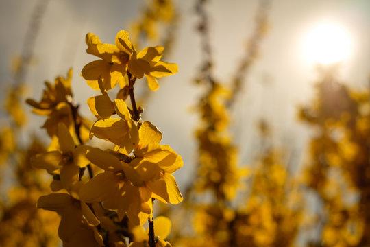 Forsythie Blüten gelb