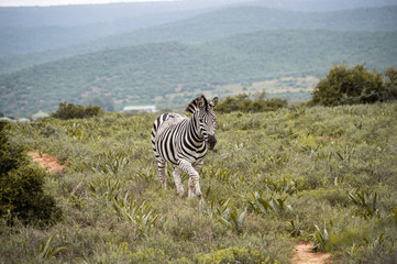 Zebra in der Savanne; Addo Elephant National Park, Südafrika