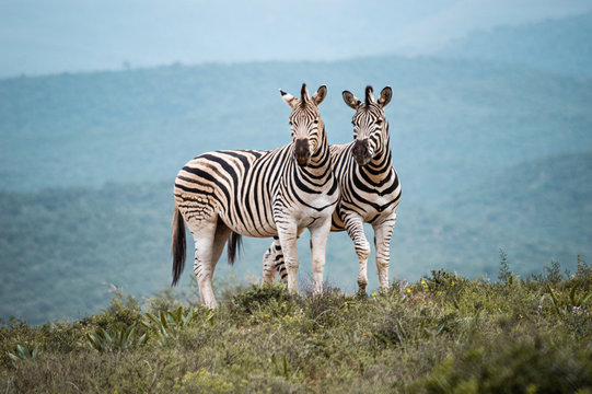 Zwei Zebras in der Savanne, Addo Elephant National Park, Südafrika