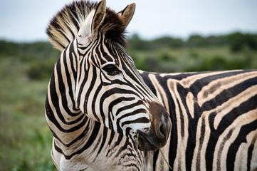 Beeindruckende detailreiche Nahaufnahme Zebra mit Kopf schräg; Addo Elephant Nationalpark, Südafrika