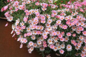Argyranthemum angelic 'Giant Pink'