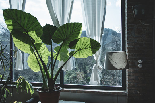 Beautiful green corner in a country house: elephant ear plant (Alocasia or Colocasia) indoor, in front of a big window. Details of leaves backlit from the sun. Relaxing view, vintage edit.