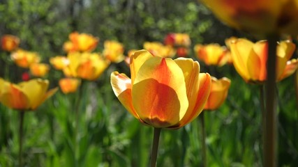 Wall Mural - wild growing tulips growing at the old spring garden at sunny spring day