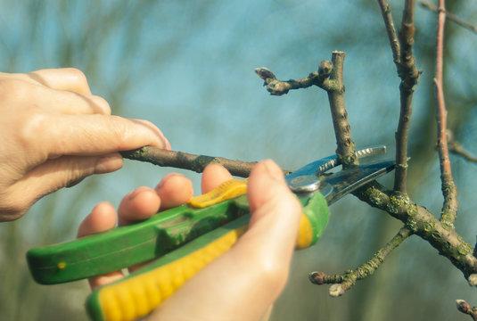 pruning fruit trees in spring