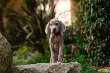 A Weimaraner puppy in a garden. Wall mural