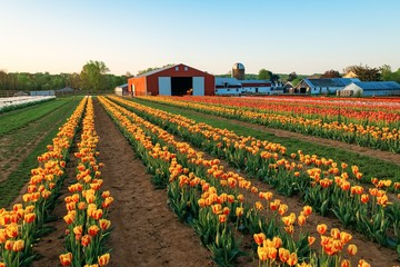 Tulip in farm