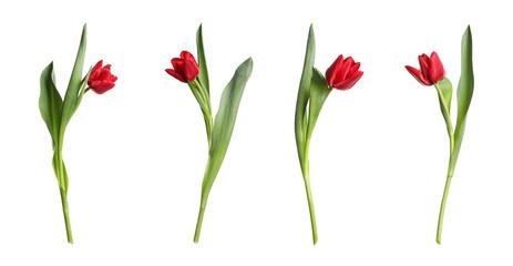Photo sur Plexiglas Tulip Set of beautiful spring tulips on white background