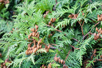 Cypress cedar tree branch with bunch of brown cones. Evergreen thuja bush Wall mural