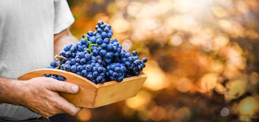 Vineyards grape at sunset in autumn harvest. Ripe blue wine berries gathering. Man hold a wood box full of fresh sweet dark grapes. Fototapete