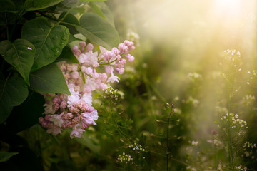 Wall Mural - Blooming spring lilacs flowers in fabulous garden on mysterious fairy tale springtime floral sunny background with sun light beams and rays, fantasy amazing nature landscape with syringa bloom