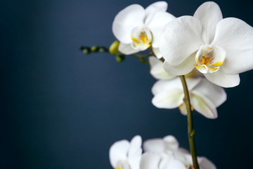 Photo sur Plexiglas Orchidée Branch of a blossoming white orchid on dark blue background
