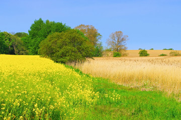 Rapsfeld und Schilf - Rape field and reeds, idyllic landscape
