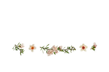 New Zealand manuka tree flowers in bloom isolated on white background with copy space