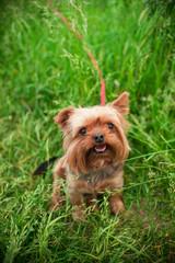 Fototapeta yorkshire terrier on grass