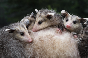 Fototapete - Wet Virginia Opossum Joeys (Didelphis virginiana) Huddle Together on Mothers Back Summer
